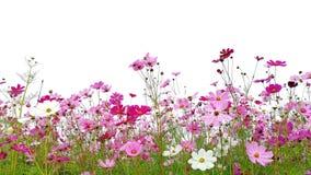 Rosa y flores rojas del cosmos del jard?n fotografía de archivo libre de regalías