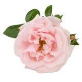 Rosa y hojas del rosa aisladas en blanco Imágenes de archivo libres de regalías