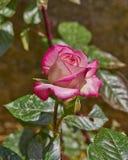 Rosa y rosa pálida del blanco en el jardín imagen de archivo libre de regalías