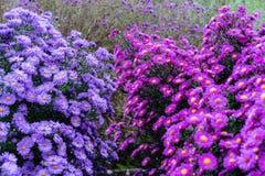 Rosa y violeta de los heliantheae del Asteraceae en finales del otoño del verano Foto de archivo