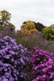 Rosa y violeta de los heliantheae del Asteraceae en finales del otoño del verano Fotos de archivo