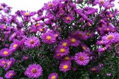 Rosa y violeta de los heliantheae del Asteraceae en finales del otoño del verano Fotografía de archivo