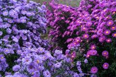 Rosa y violeta de los heliantheae del Asteraceae en finales del otoño del verano Fotos de archivo libres de regalías