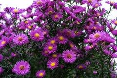 Rosa y violeta de los heliantheae del Asteraceae en finales del otoño del verano Imágenes de archivo libres de regalías