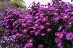 Rosa y violeta de los heliantheae del Asteraceae en finales del otoño del verano Imagen de archivo