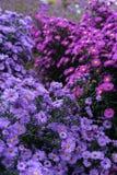 Rosa y violeta de los heliantheae del Asteraceae en finales del otoño del verano Foto de archivo libre de regalías