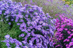 Rosa y violeta de los heliantheae del Asteraceae en finales del otoño del verano Imagen de archivo libre de regalías