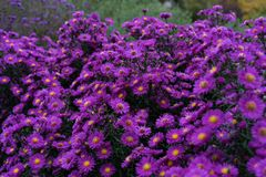 Rosa y violeta de los heliantheae del Asteraceae en finales del otoño del verano Imagenes de archivo