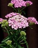 rosa yarrow fotografering för bildbyråer