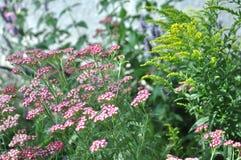 Rosa Yarrow Achillea-millefolium und -goldrute Stockfotografie