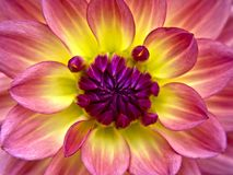 rosa yellow för dahlia Royaltyfria Foton
