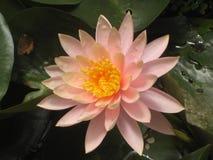 rosa yellow för lotusblomma Royaltyfria Foton