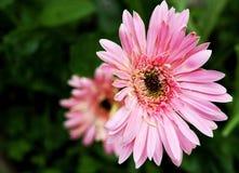 Rosa yerbera som blommar i trädgård arkivfoton