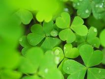 Rosa z zielonymi liśćmi mały serce Obraz Stock