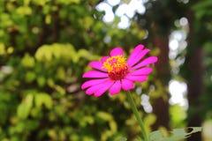 rosa zinnia Arkivbilder