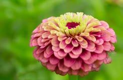 rosa zinnia Royaltyfri Foto