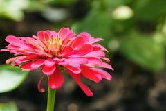 rosa zinnia Fotografering för Bildbyråer