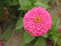 rosa zinnia royaltyfri bild