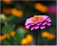 rosa zinnia Arkivfoton
