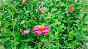 Rosa Zinnia-Blumen-Blühen Lizenzfreies Stockfoto