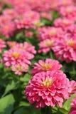 rosa zinnia för blomma Arkivfoton