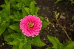 rosa zinnia för blomma Fotografering för Bildbyråer