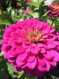 rosa zinnia för blomma Arkivbilder