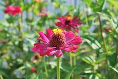 rosa zinnia för blomma Royaltyfria Foton
