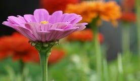 Rosa zinnia i trädgården Royaltyfri Fotografi