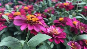 Rosa Zinnia im Garten und in der Blume bunt Lizenzfreie Stockfotos