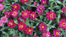Rosa Zinnia im Garten und in der Blume bunt Stockbilder