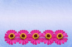 Rosa zinniablomma på blå bakgrund arkivbild