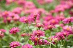 Rosa zinniablommaträdgård Arkivfoton