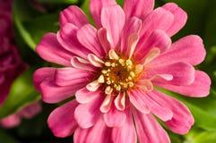 Rosa Zinniablume, die Blumenblätter zeigt stockfotos