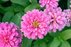 Rosa Zinniablume Zinnia violacea Cav im Sommergarten am sonnigen Tag Lizenzfreie Stockfotografie