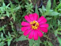 Rosa zinniaelegansblomma i naturträdgård Arkivbilder