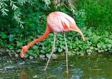 rosa zoo för flamingos Royaltyfri Fotografi