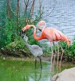 rosa zoo för flamingos Arkivbild