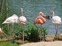 rosa zoo för flamingos Fotografering för Bildbyråer
