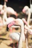 rosa zoo för flamingos Arkivfoton