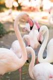 rosa zoo för flamingos Royaltyfri Foto