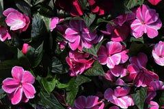 Rosa zu den weißen Blumen von Impatiens-Klasse Stockbilder