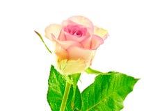 Rosa zweifarbige einzelne Nahaufnahme Rose lizenzfreies stockfoto