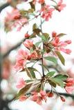 Rosa Zweig von Kirschblüte mit den grünen Blumenblättern lizenzfreie stockfotografie