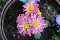 Rosaaktig gul blomma royaltyfria bilder