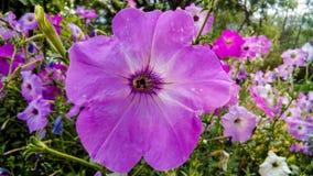 Rosaaktig purpurfärgad vit- och blåttblomma arkivfoton