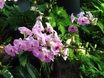 Rosaaktiga purpurfärgade orkidér Arkivbilder