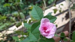 Rosaaktigt mycket litet steg Arkivbild
