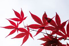 Rosablätter des japanischen Ahorns (Acer-palmatum) Stockfotos