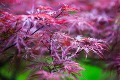 Rosablätter des japanischen Ahorns (Acer-palmatum) Lizenzfreie Stockfotografie